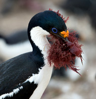 King Shag with Nesting Material
