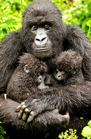 Mother Mountain Gorilla Holds Her Twins
