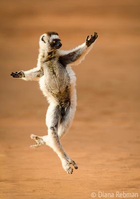 Verreaux's Dancing Sifaka