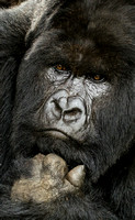 Close up of Silverback