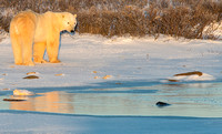Polar Bear in Golden Light