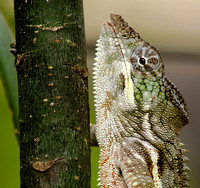 Close Up of a Male Oustalet's Chameleon