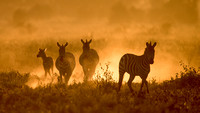 Zebras in the Early Morning Mist