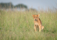 Lion Cub in Tall Grass