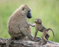 Mother and Infant Olive Baboon
