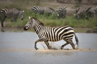 Plains Zebra Running in the Lake
