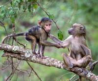 Infant Olive Baboons Playing