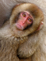 Close Up on an Infant Snow Monkey in his Winter Coat
