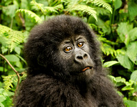 Pensive Young Mountain Gorilla