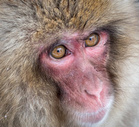 Close Up of Snow Monkey