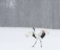 Japanese Crane in a Snow Storm