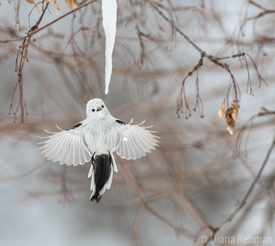 Long-tailed Tit and Icicle, 2018 Audubon Photography Awards Amateur Winner