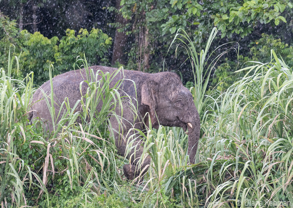 Pygmy Elephant in the rain