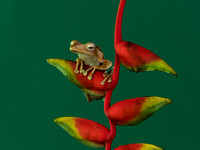 Frog on Heliconia