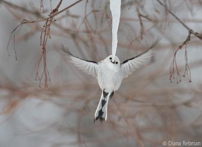 Hokkaido Long-tailed Tit