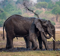African Elephants taking mud bath
