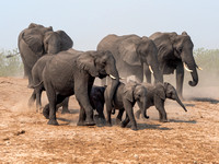 Dust Flies as Elephants head to Chobe River