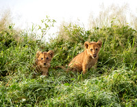 Lion cubs in grass
