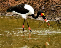 A Female Saddle-billed Stork Catches a Fish, South Africa 2010
