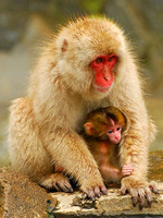 Snow Monkey and Infant