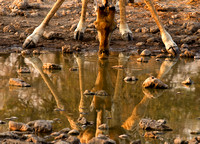 Giraffe and Its Reflection at the Water Hole