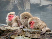 Japanese Snow Monkeys Relaxing in the Hot Springs