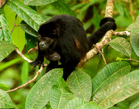 Mantled Howler Monkey Mom and Baby