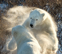 Lunging Polar Bear