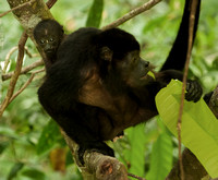 Mantled Howler Monkey, Mother and Infant