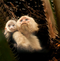 White-faced Capuchin Monkey Mother and Baby
