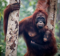 Mother and Infant Orangutan in a Tree