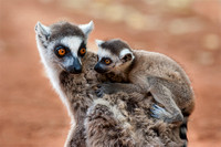 Ring-tailed Lemur Looking at Baby on Its Back