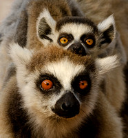 Ringtail Lemur Mother and Baby