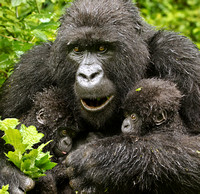 Mother Mountain Gorilla with Twins, Eating