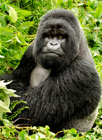 Portrait of a Silverback