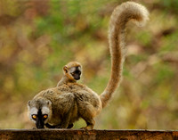 Red-fronted Brown Lemur with Infant