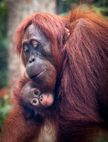 Portrait of Mother and Baby Orangutan