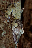 Close Up of a Leaf-tailed Gecko