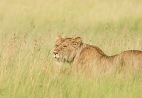 Lioness in Long Grass