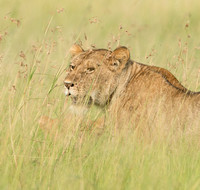 Lioness in Long Grass, close crop