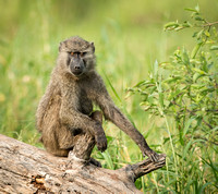 Relaxed Baboon