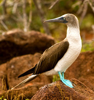 Profile of a Blue-Footed Booby