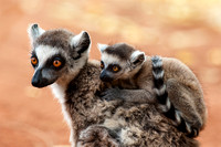 Ring-tailed Lemur, Mom and Baby