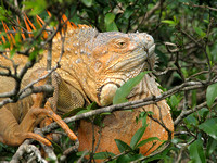 Reddish-green Iguana
