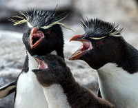 Rockhopper Family