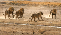 Three Male Lions in Hot Pursuit of a Female