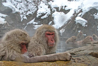 Japanese Snow Monkeys Soaking in a Hot Springs