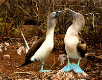 Male Blue-footed Booby Does a High Stepping Mating Dance