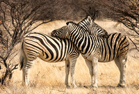 A Common Pose for Zebras