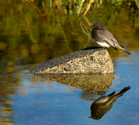 Black Phoebe Perched on a Rock in Early Morning Light